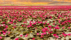 Sunshine rising lotus flower Stock Images