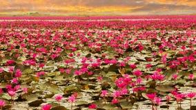 Sunshine rising lotus flower Stock Images