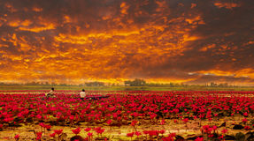 Sunshine rising lotus flower Stock Photography