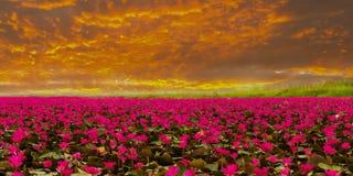 Sunshine rising lotus flower Royalty Free Stock Image