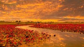 Sunshine rising lotus flower Royalty Free Stock Photography