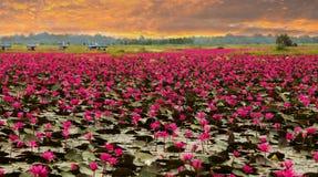 Sunshine rising lotus flower Royalty Free Stock Images