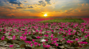 Sunshine rising lotus flower Stock Photo