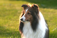 Sunshine Sheltie Royalty Free Stock Images