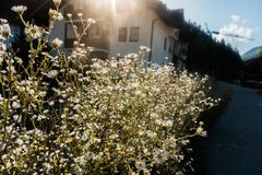 Sunshine on Small White Flowers in Bavaria stock photography