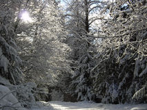 Sunshine through snowy branches on a winter path i. N Royalty Free Stock Photography