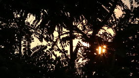 Sunshine star flare Glimmering through Agasta leaves tree in windy. stock video footage