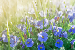 Sunshine summer lawn with little blue flowers and rain drops Royalty Free Stock Image