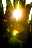 Sunshine. Sun shining true a corn field royalty free stock photos