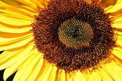 Sunshine Sunflower Florets Spiralgraph. Up close, spiral designed brown seed florets on a yellow petaled Sunflower in bright sunshine Stock Image