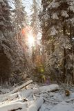 Sunshine in sunny winter snowy forest stock image