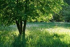 sunshine tła drzewo. fotografia royalty free