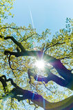Sunshine Tree Royalty Free Stock Image