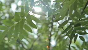 Sunshine through the tree green leaves. Nature background. Beautiful sunshine through the blowing on wind tree green leaves stock video