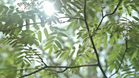 Sunshine through the tree green leaves. Nature background. Beautiful sunshine through the blowing on wind tree green leaves stock video footage