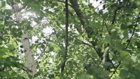 Sunshine through the tree green leaves. Nature background. Beautiful sunshine through the blowing on wind tree green leaves stock footage