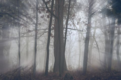 Sunshine through the trees in the fog. Sunshine through the trees of the forest in the fog a cold autumn morning Stock Photo