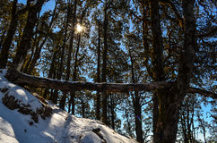 Sunshine through trees in a forest. Sun shines through trees in a snow covered forest Royalty Free Stock Image