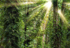 Sunshine through trees in rain forest royalty free stock photo