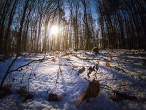 Sunshine between the trees in a winter forest Royalty Free Stock Photo