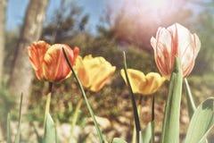 `Sunshine` tulips in a zen garden stock images