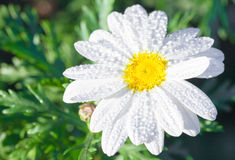 Sunshine white daisies Stock Photography