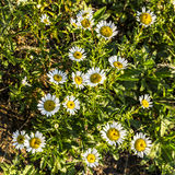 Sunshine wild daisies look down Royalty Free Stock Photos