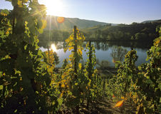 Sunshine in a wineyard Royalty Free Stock Photos