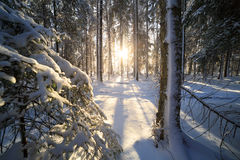 Sunshine in winter forest Stock Photos