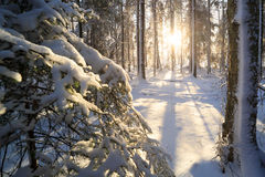 Sunshine in winter forest Royalty Free Stock Photography