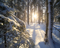 Sunshine in winter forest Stock Photography