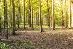 Sunshine on woodland floor in summer Royalty Free Stock Image