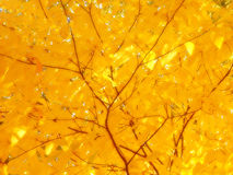Sunshine on yellow leaves royalty free stock photo