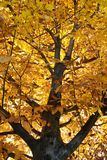 Sunshine on yellow leaves. Autumn Tree Royalty Free Stock Photography