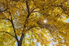 Sunshine through yellow leaves on branch stock photo