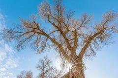 Sunshine with Yellow populus euphratica trees stock photos