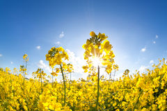 Sunshine on yellow rapeseed oil flower field Royalty Free Stock Photos