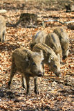 Sunshine young boars Stock Photography
