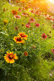 Sunshine and Zinnia elegans Jacq Royalty Free Stock Photography