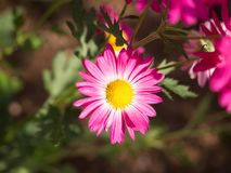 Sunshines on single Pink Chrysanthemum. In Central Park Stock Images