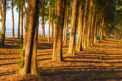 Sunshing transmit  pine Royalty Free Stock Images