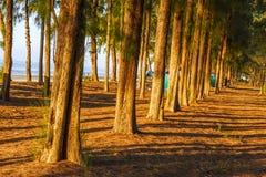 Sunshing transmit  pine. Morning sunshine transmit  pine on beach Nava Gorn at sea of country, Thailand Royalty Free Stock Images