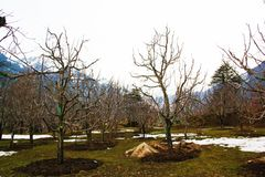 A Sunshining Day In Manali With Apple tree and snow in garden royalty free stock photo