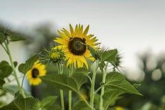 Sunshiny zonnebloem in de zomerdag, Bijen verzamelt nectar stock afbeelding