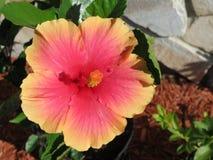 Sunshower hibiskusblomma Arkivfoton