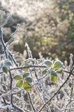 在结霜的刺分支的春天阳光 图库摄影