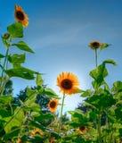 sunsolros Royaltyfria Bilder