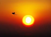 SunSpider Stockfoto