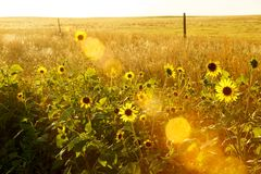 Sunspots and sun flowers Stock Photography