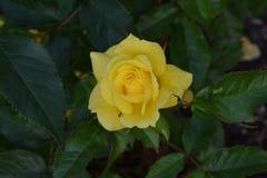 Sunsprite Yellow Rosebud 02 royalty free stock image